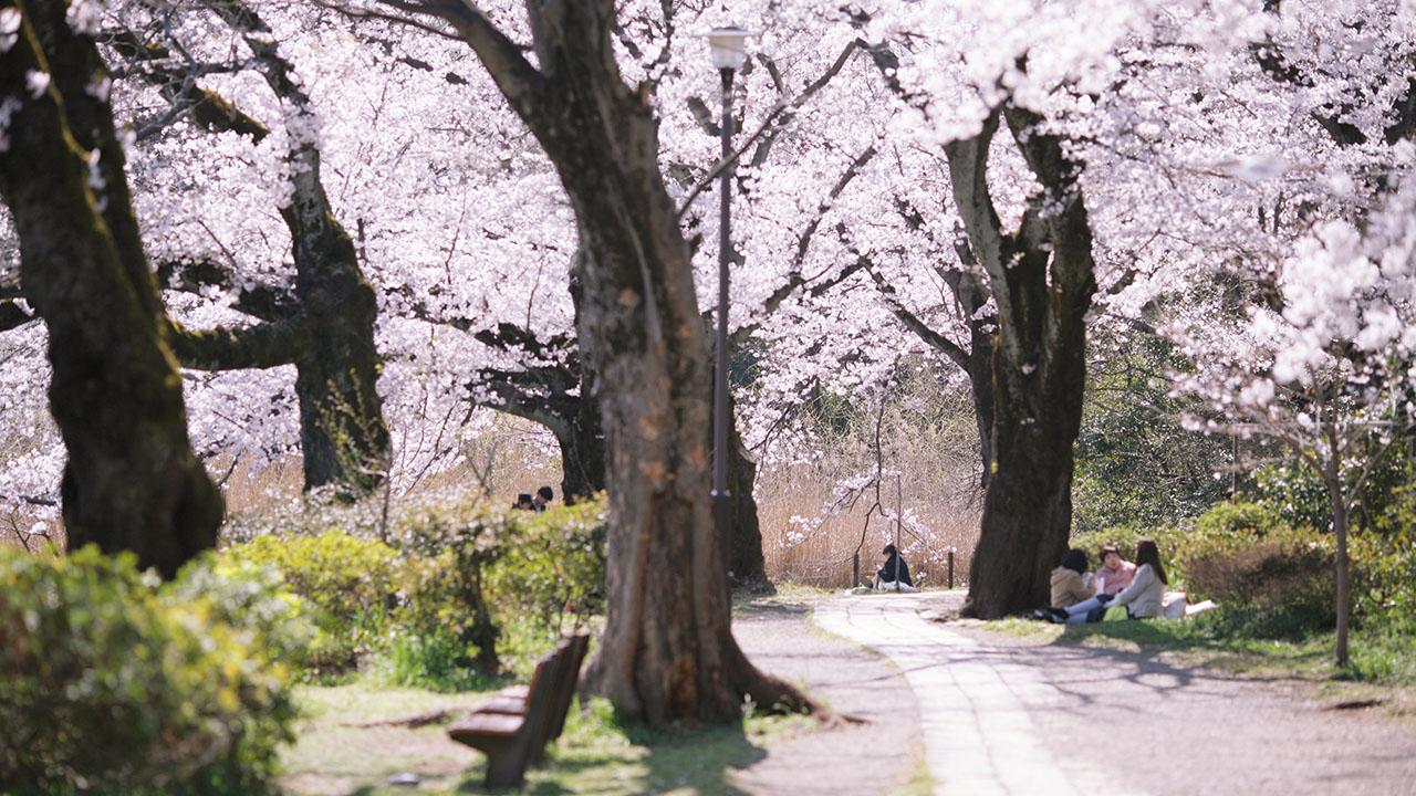 善福寺公園の桜